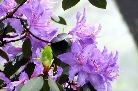 """香港区花是""""洋紫荆"""",于秋季绽放"""